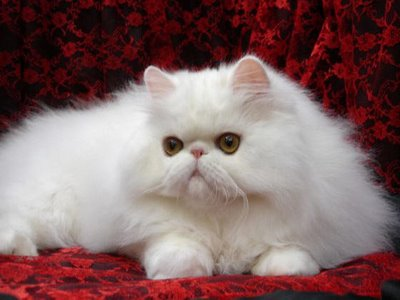 Tips How To Taking Care Persian Cats FREE YOUR PETS F
